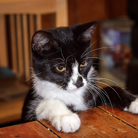 Another Round for the Cat by Rob Heber - Animals - Cats Kittens ( kitten, cat, playful, black and white, cute, domestic, domestic animal, white paws, paws on table, pet portrait, pet, whiskers, adorable, paws, feline, kitty, tabby, animal )