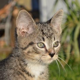 amazed by Diana Orey - Animals - Cats Kittens ( kitten, cat, pet, feline, animal )