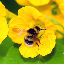 Bee gets gassed by Stephen Crawford - Animals Insects & Spiders ( intoxicated, bee, nectar, bumblebee, yellow, gassed, flower )