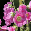 Hollyhock (Various Colors)