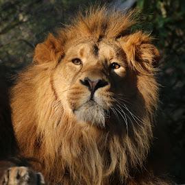 by Ralph Harvey - Animals Lions, Tigers & Big Cats ( lion, wildlife, ralph harvey, bristol zoo, animal )