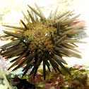 Black Sea Urchin. Erizo de mar negro