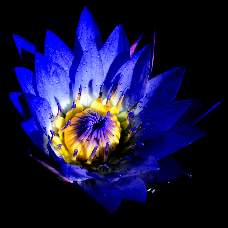 Blue Lily  by John CHIMON - Nature Up Close Flowers - 2011-2013 ( water, purple, lily, blue, botanic, stems, chicago, yellow, flowers, pretty, garden )