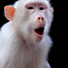 Putri - White macac (Macacus nemestrinus borneo) by Ferry's Lens - Animals Other