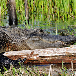 by Mary Gallo - Animals Reptiles ( water, nature, alligator, wildlife, reptile, swamp, animal )