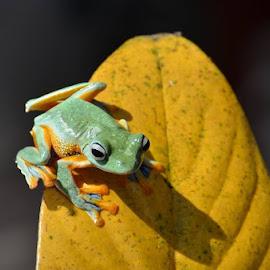 Tree frog by Rudi Sunda - Animals Amphibians