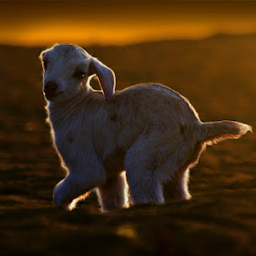 Lamb by Mohamed Rafi - Animals Other Mammals