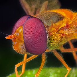 Hoverfly by SweeMing YOUNG - Animals Insects & Spiders