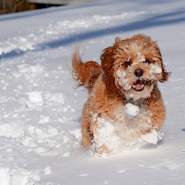 Face Plant by Steven Liffmann - Animals - Dogs Playing ( happy, snow, puppy, cavapoo, fun, face plant, dog, smiling )