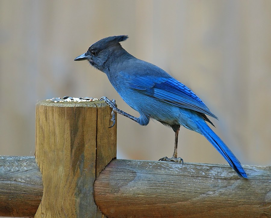 Table Manners by C.w. Bau - Animals Birds ( fence, blue, rail, jay )
