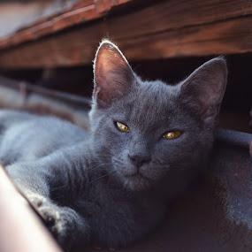 Golden eyes by Tina Balgavi - Animals - Cats Portraits ( cat, gold, gray, eyes, , #GARYFONGPETS, #SHOWUSYOURPETS )