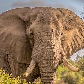 Elephant by Gert van Niekerk - Animals Other