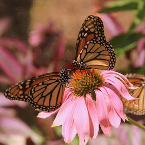 Two Butterflies Sharing a flower. by Clare Suhanich - Animals Other