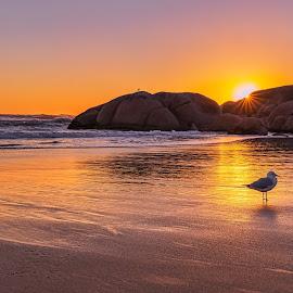 Sea Gull Sunset by Keith Walmsley - Landscapes Sunsets & Sunrises ( victoria, coast, rocks, sunset, beach, bird, hills, sea gull, australia, landscape )