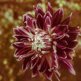 Darling Dahlia by Paula Eagle - Nature Up Close Flowers - 2011-2013 ( dahlia, flower )