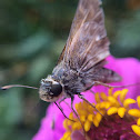 skipper butterfly