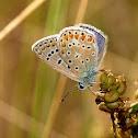 Mariposa (Common blue)