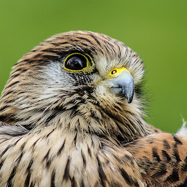 Kestrel by Garry Chisholm - Animals Birds ( bird, nature, wildlife, prey, raptor )