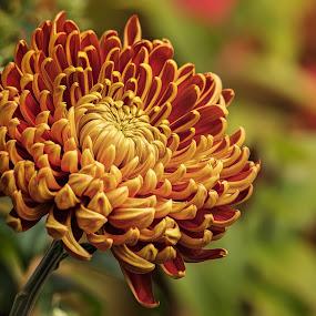 Garden Mum by Dbart ... - Flowers Single Flower ( garden mum, nature, colors, close up, mum, flower,  )