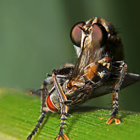 Catching a fly by Pande Wiguna - Animals Insects & Spiders
