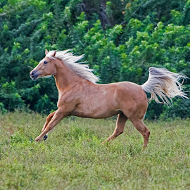Running Free by Robert Steagall - Animals Horses ( galloping, palomino, free, horse, pretty, running )