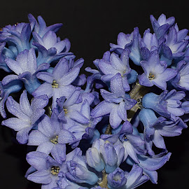 Fragrant Hyacinths by Millieanne T - Flowers Flower Arangements