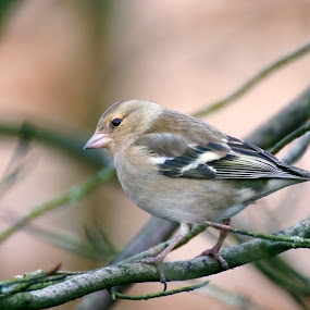 Chaffinch by Mike Hawkwind - Novices Only Wildlife ( scotland, uk, chaffinch, tree, wildlife, finch, birds )