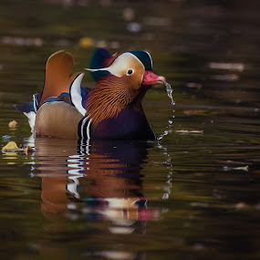 Spitting  by Avtar Singh - Animals Birds ( maleduck, reflection, spitting, nature, colors, mondarin, vibrant colors, water dripping )