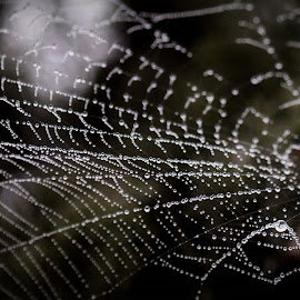 Spider web by Boutheina Ferid - Nature Up Close Webs ( macro photography, dew, web, dew drops, spider web )