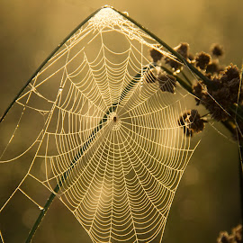 A Tangled Web by Barry Blaisdell - Nature Up Close Webs ( foggy, webs, dew drops, morning, spider web )