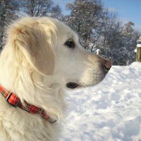 Winter Wonderland by Beth Alexander - Animals - Dogs Portraits ( retriever, winter, sweet, crisp, beautiful, snow, puppy, dog, golden )