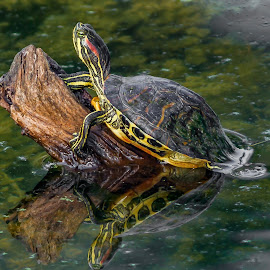 by Allen Wesley - Animals Reptiles ( reptiles, animals, reflection, animals in water, nature, turtles, turtles in water )