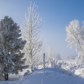 Frosty Trees by Chad Roberts - Nature Up Close Trees & Bushes ( winter, tree, cold, pine tree, snow, frost, trees, frozen, morning )