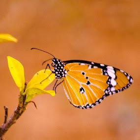 Butterfly  by Swapnanil Dhol - Novices Only Macro ( orange, butterfly, macro, wings, nikon )