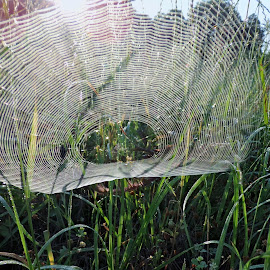 Morning Web by Ann Mcmillian - Novices Only Objects & Still Life (  )