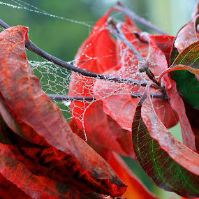 autumn web by Glenys Lilley - Nature Up Close Leaves & Grasses ( pwcfallleaves, autumn, red leaves, dew, web, leaves )