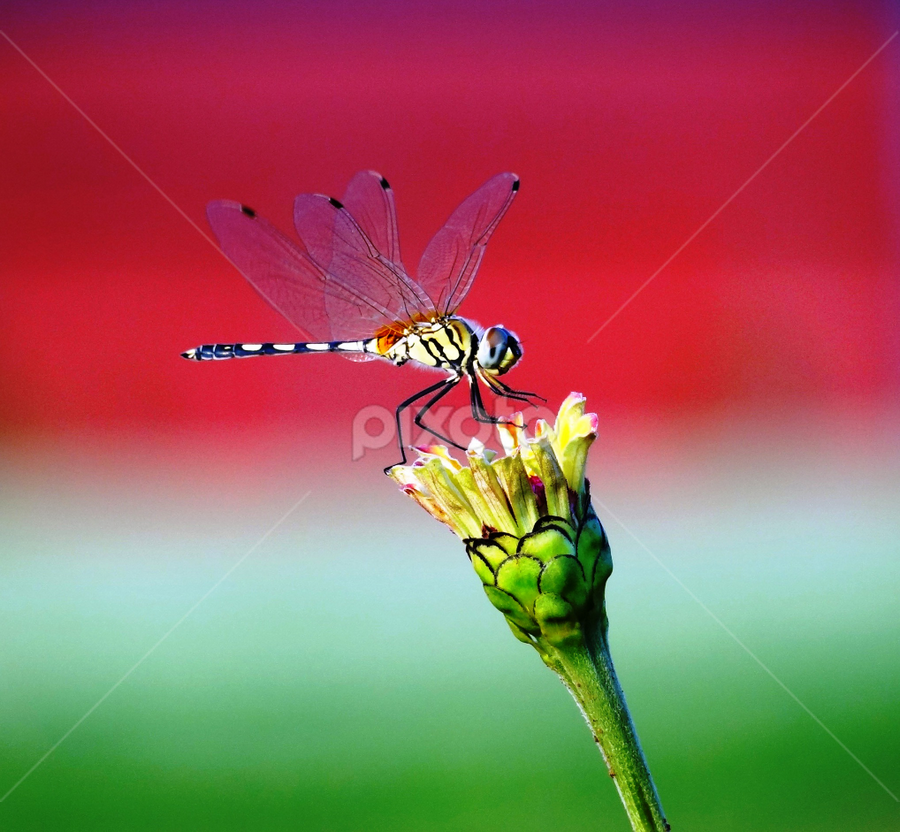landing by Nani Garu - Animals Insects & Spiders ( red, landing, wings, dragonfly, flower )
