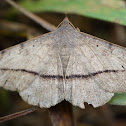 Grass moth