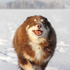 Thrilled by Mia Ikonen - Animals - Dogs Running ( overjoyed, finnish lapphund, finland, fun, expressive )