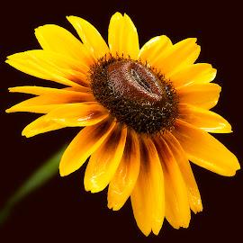 Dallas Daisy. by Trent Eades - Flowers Single Flower ( single flower, dallas daisy, glisten, daisy, yellow, flower,  )