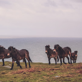 A morning trot by Carol Henson - Animals Horses ( pony, horses, ponies, horse, devon, exmoor, lynton/lynmouth, valley of the rocks,  )