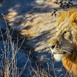 King of Kruger by Laura Chapple - Animals Lions, Tigers & Big Cats ( lion, kruger national park, lighting, mane, safari, south africa )