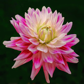 Magenta Dahlia #6 by Jim Downey - Flowers Single Flower ( magenta, white, dahlia, yellow, black )