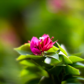 Pink Blossom by Nanda Kumar - Nature Up Close Flowers - 2011-2013