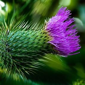 Thistle by Kevin Adams - Flowers Single Flower