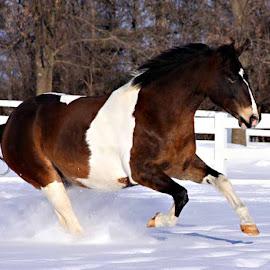 Cowboy by Pam  Kipper Gabriel - Animals Horses ( equine, snow, horse, paint, snow play,  )