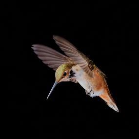 The Provocateur by Briand Sanderson - Animals Birds ( bird, black background, motion capture, hummingbird, rufus hummingbird, rufous hummingbird, rufous, rufus )