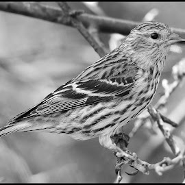 Pine Siskin by Dave Lipchen - Black & White Animals ( pine siskin )