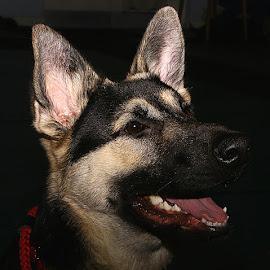 Neo by Chrissie Barrow - Animals - Dogs Portraits ( mouth, pet, german shepherd dog, fur, ears, dark background, dog, teeth, nose, cream, black, portrait, eye )