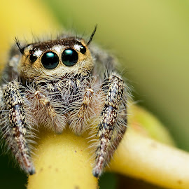by 3rd eye Monster - Animals Insects & Spiders ( canon6d, macro, jumping spider )